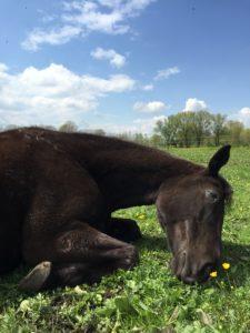 Vorsicht bissig: Sind Traber aggressiver als andere Pferderassen?