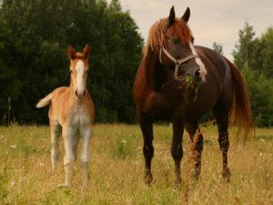 Corona & Spätfolgen: Ute kämpft in Estland um die letzten Zarenpferde