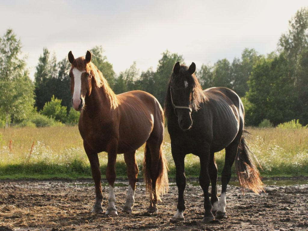 alt-tori-pferde_alt-tori-horse_estland-pferde